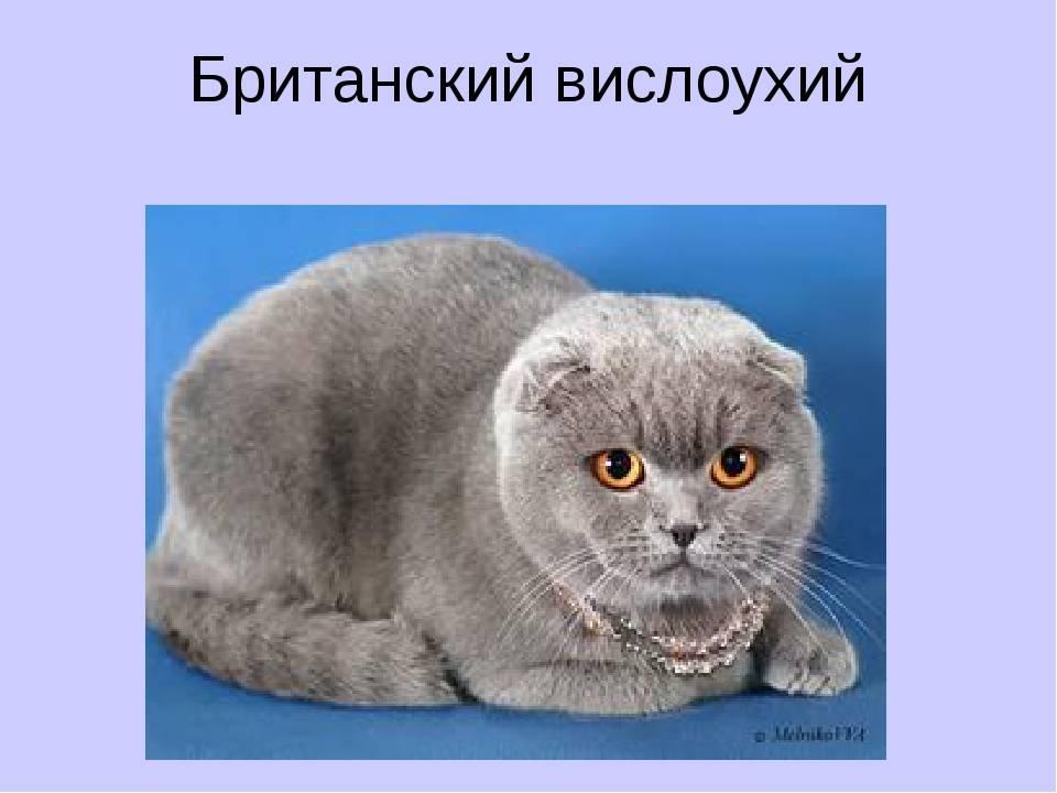Вислоухий британец: описание и фото непризнанной породы кота, характер кошки и выбор британского котёнка, уход за питомцем и его содержание
