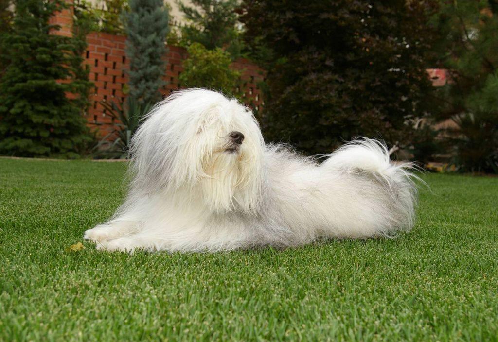 Порода собак одис: фото, внешний вид и описание | zoodom