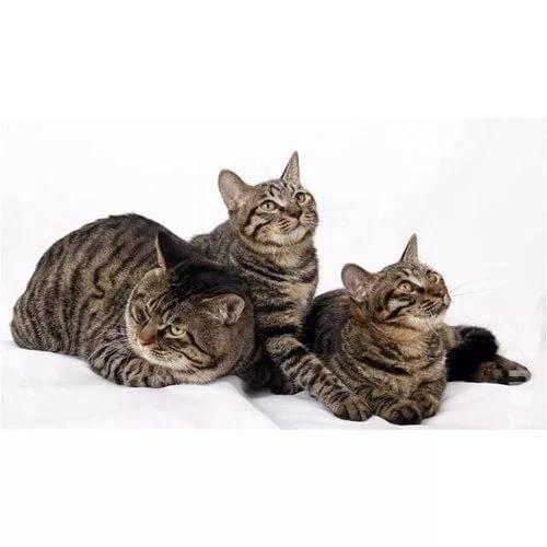 Китайская кошка ли хуа или дракон ли: описание и уход за питомцем