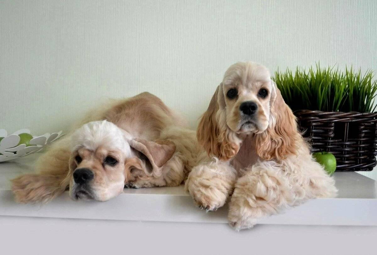 Американский кокер-спаниель: описание породы собак с фото и видео