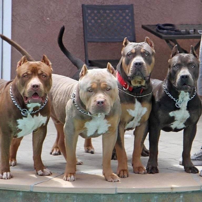Бойцовские породы собак - названия и фото (каталог)