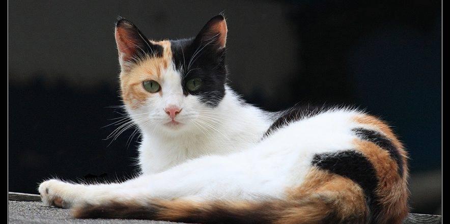 Счастливые суеверия о трёхцветных кошках