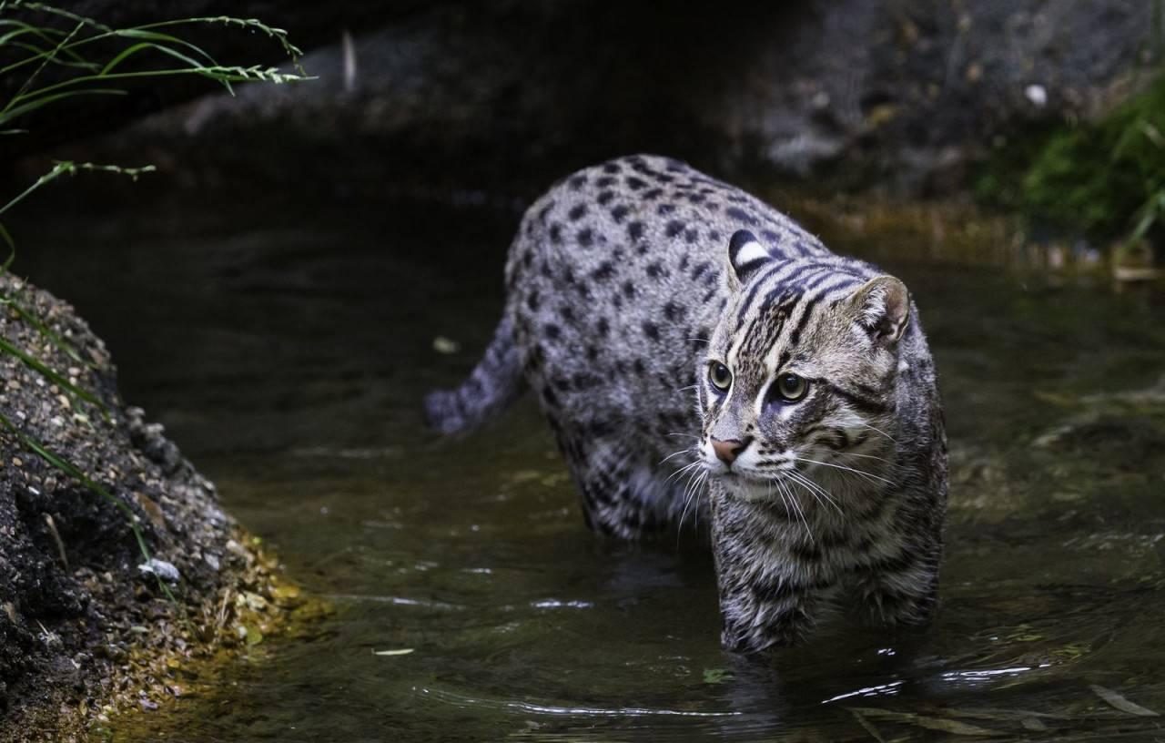 Виверровый кот-рыболов кошка: подробное описание, фото, купить, видео, цена, содержание дома