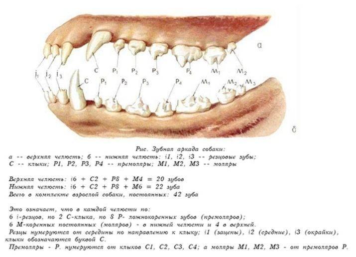 Сколько зубов у человека – нумерация в стоматологии, зубная формула