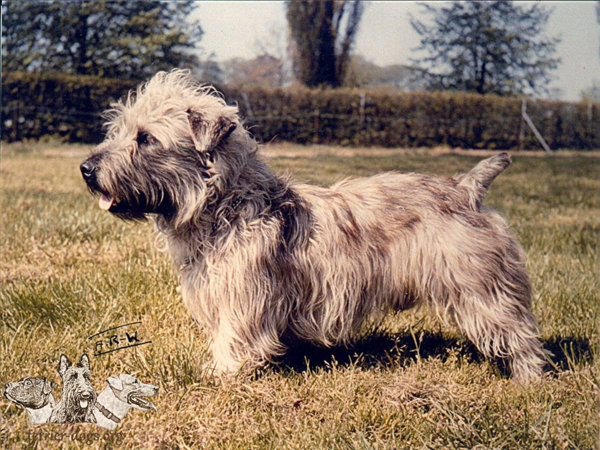 Глен оф имаал терьер: описание породы собак с фото и видео