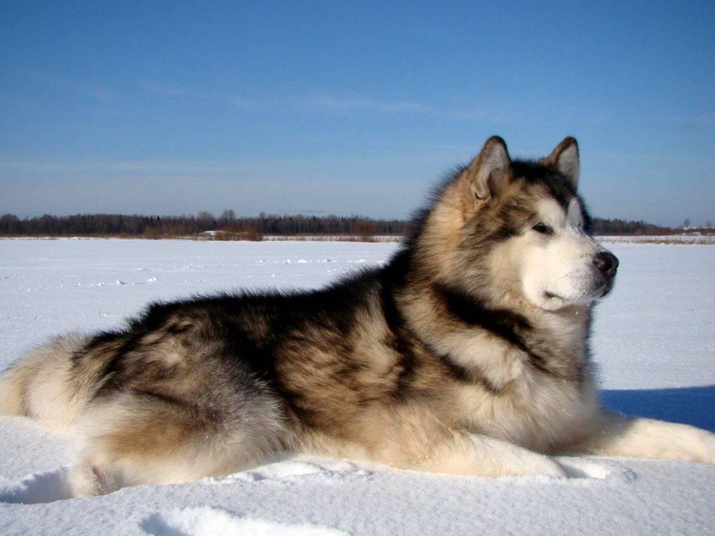 Характер хаски (20 фото): описание породы. как собаки относятся к детям? особенности характера мальчиков и девочек, отзывы владельцев