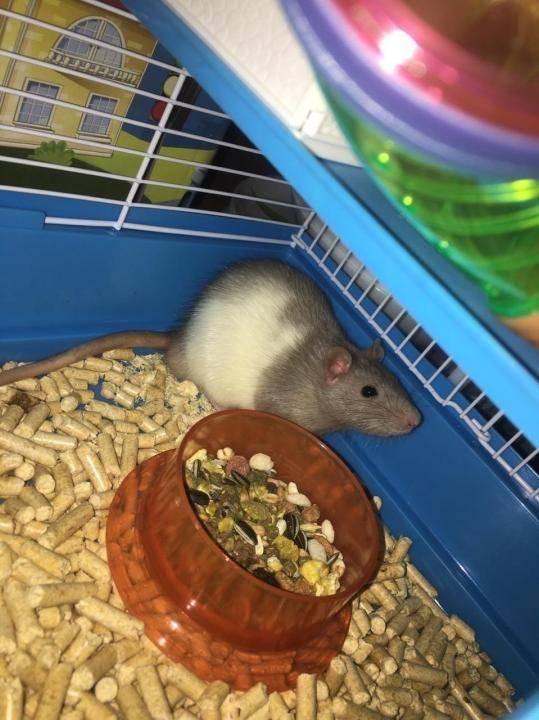 Уход за домашней крысы. советы по содержанию - люблю хомяков