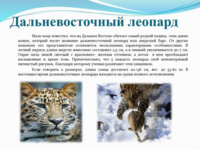 Переднеазиатский леопард – фото, описание, ареал, рацион, враги, популяция