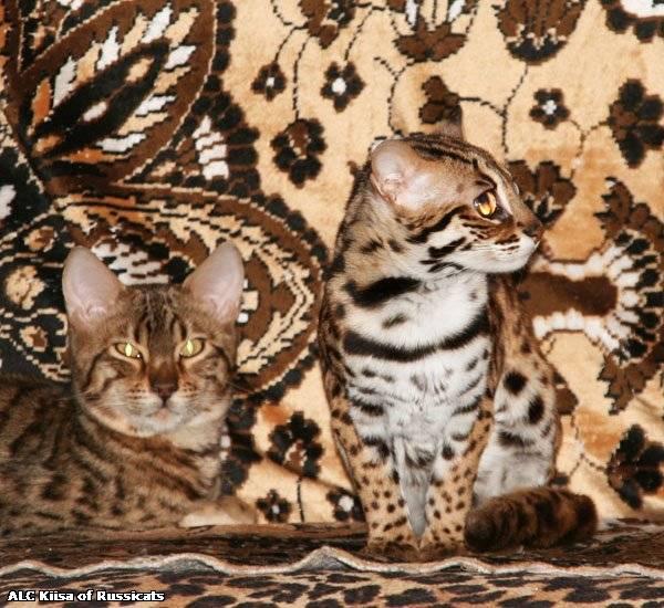 Азиатская (золотистая) дымчатая кошка