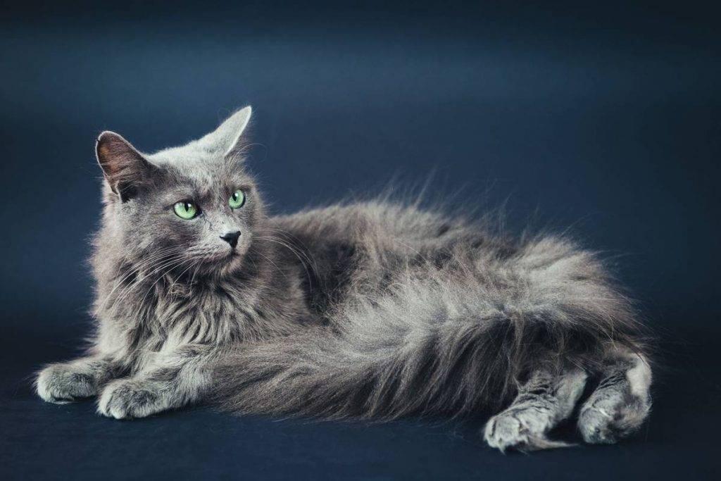 Порода кошек нибелунг: харрактер и описание с фото, цена котенка