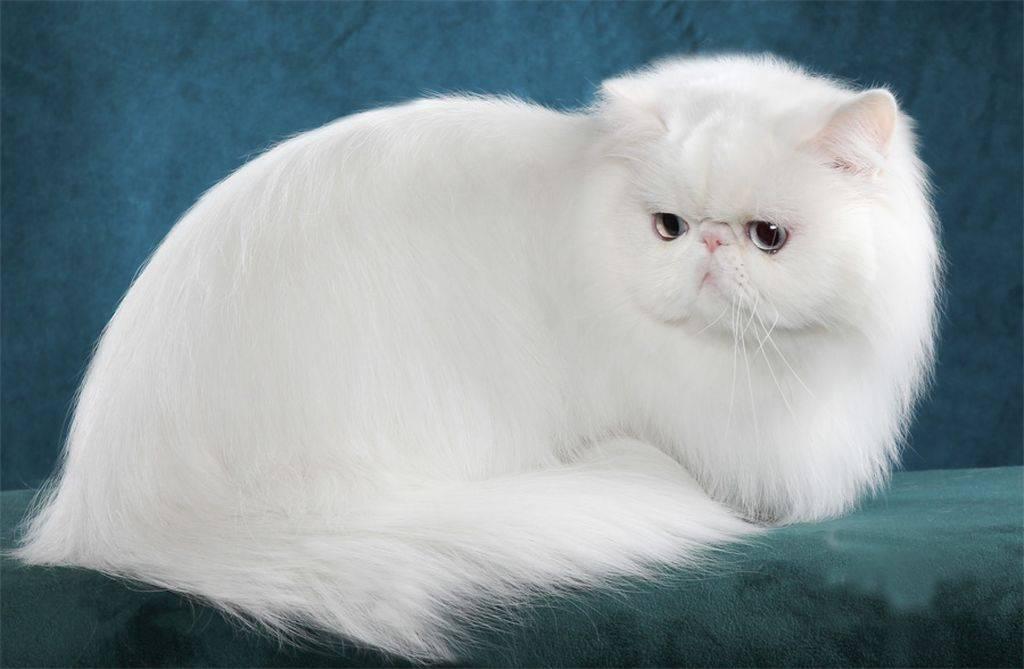 Описание и содержание белых шотландских кошек
