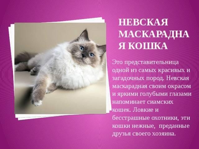 Невские маскарадные кошки: описание породы, особенности содержания