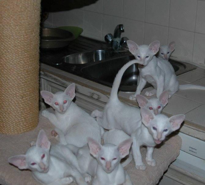Белые кошки — обзор пород, особенности ухода и вязки