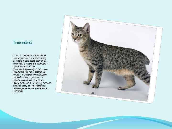Самые лучшие породы кошек для детей [фото + список 11 пород]