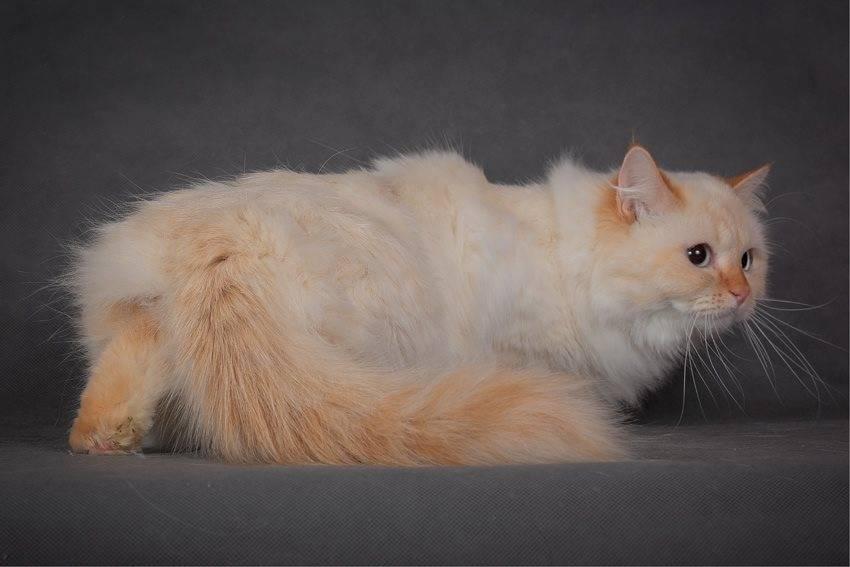 Длинношерстные кошки: список пород с фото, уход за шерстью