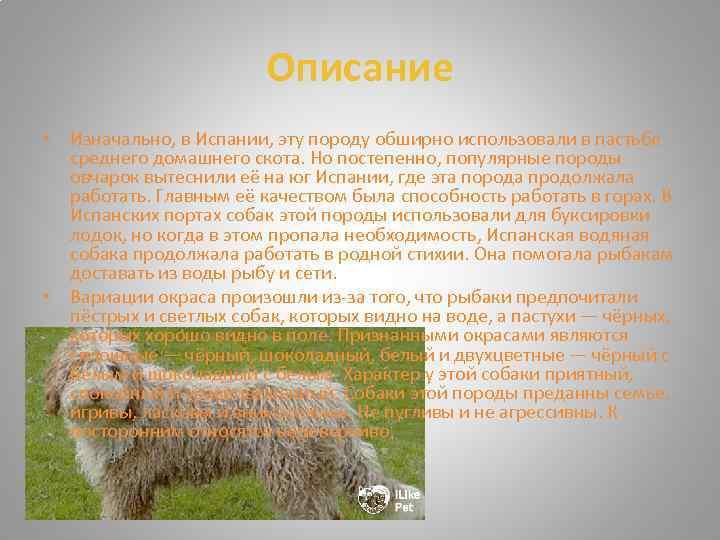 Испанский бульдог или алано эспаньол: описание породы. аланская собака: как выглядит порода, описание ее характера и нюансы содержания