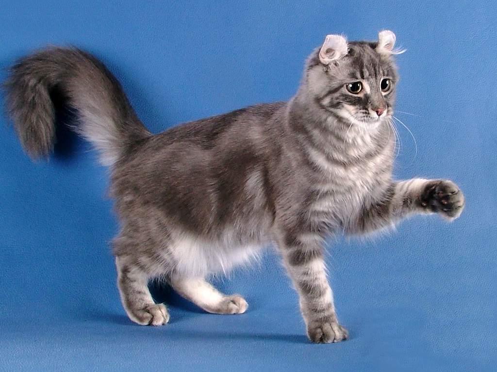 Американский кёрл - фото и описание породы кошек (характер, уход и кормление)