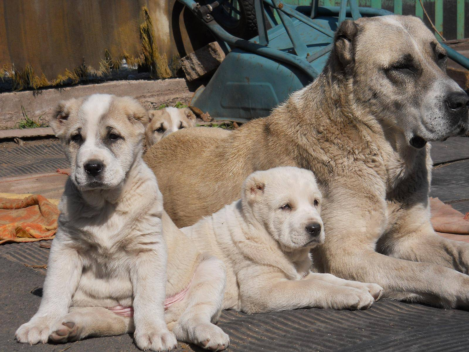 Щенки алабая: описание и фото в 1, 2 месяца и почти взрослой собаки, цена маленькой среднеазиатской овчарки в россии, а также сколько стоит сао за рубежом?