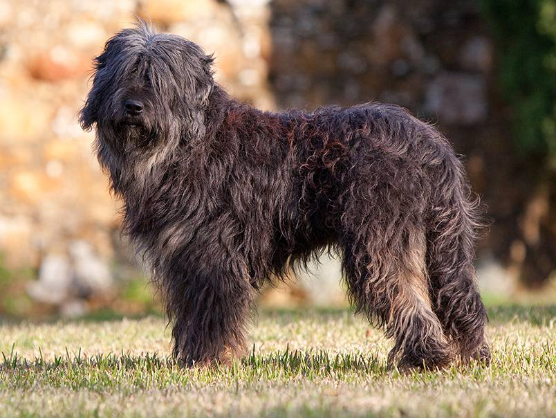 Комондор (венгерская овчарка): подробное описание породы с фото