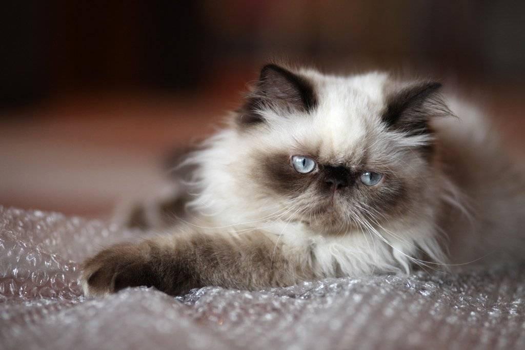 Гималайская кошка: фото, описание породы, характер, цены