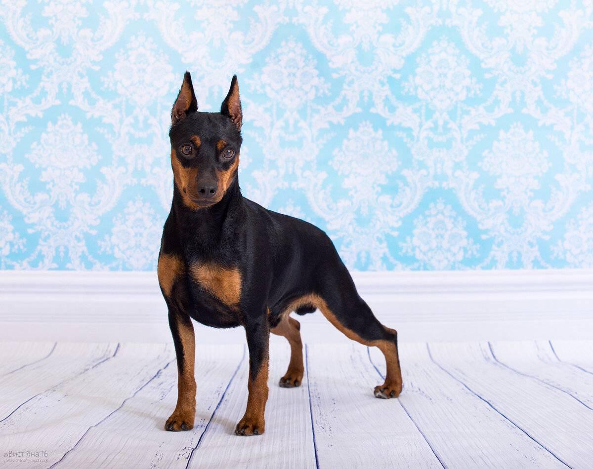 Карликовый пинчер собака. описание, особенности, уход и цена карликого пинчера
