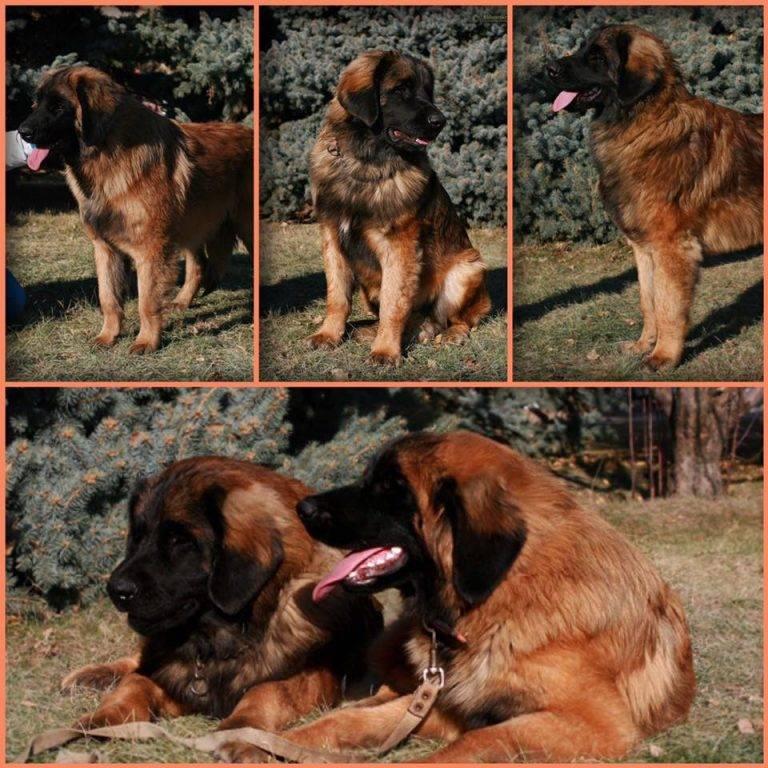 Леонбергер - все о собаке, фото, видео, отзывы, описание породы, характер, уход, щенки