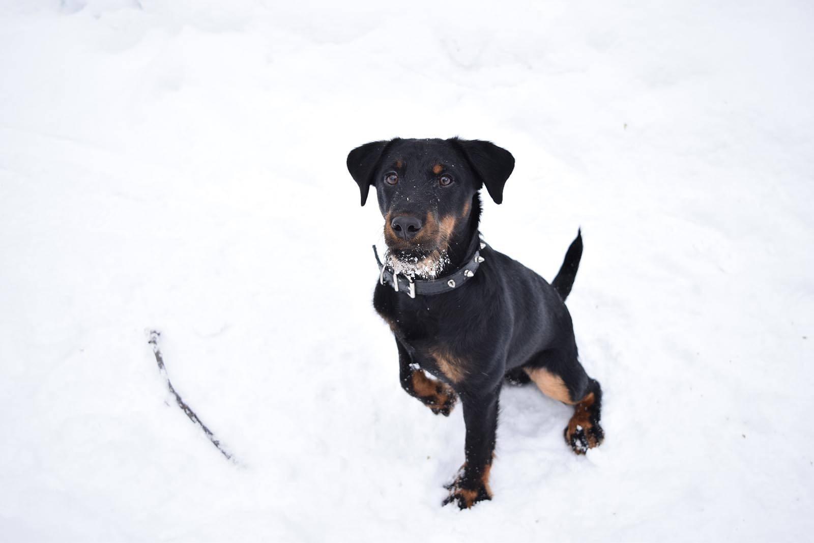 Ягдтерьер. о породе собак: описание породы ягдтерьер, цены, фото, уход