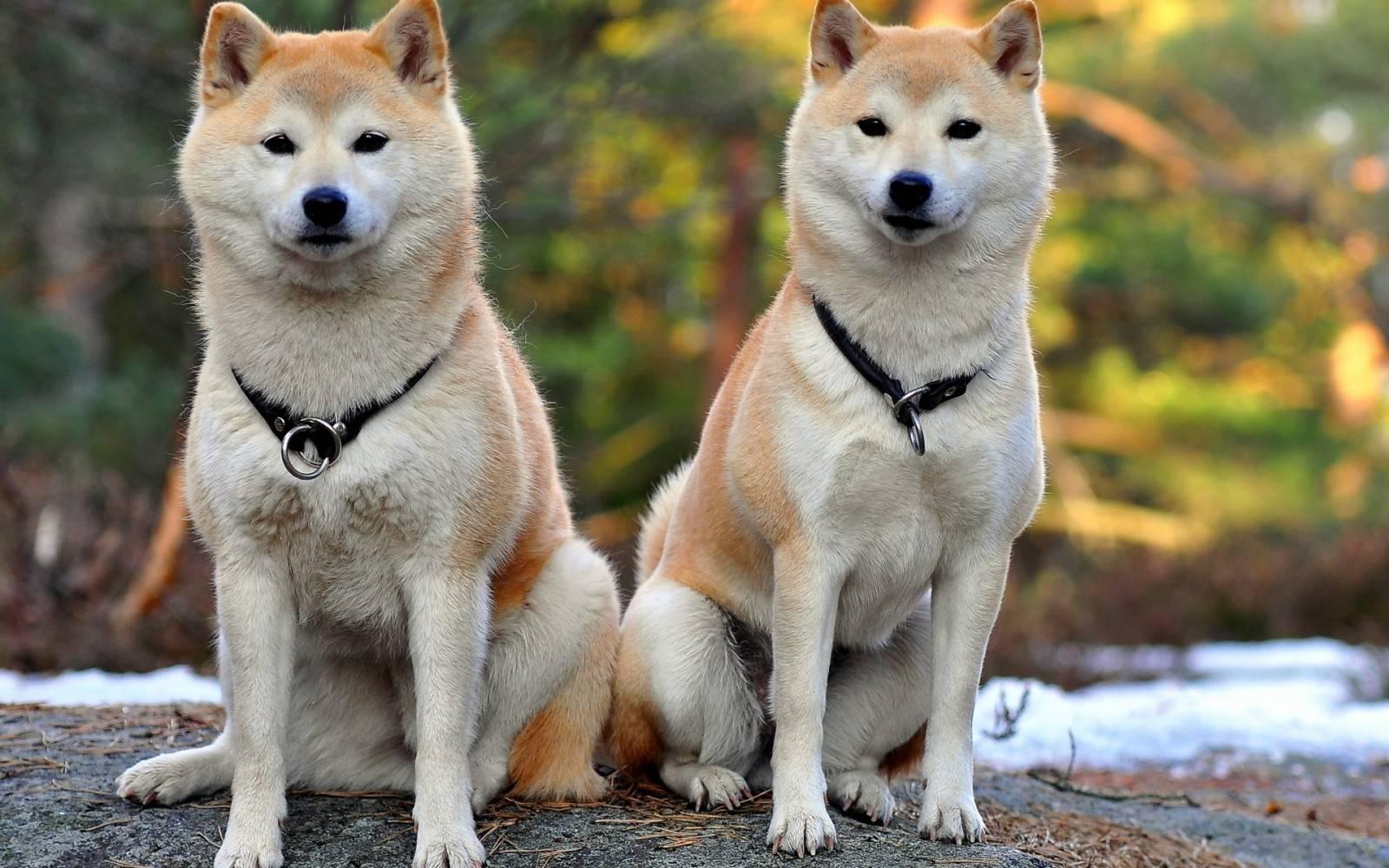 Хаски (81 фото): описание щенков данной породы собак, разновидности и стандарты. как выбрать хаски для дома? отзывы владельцев