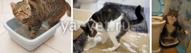 Кровь в моче у кошки - причины и лечение
