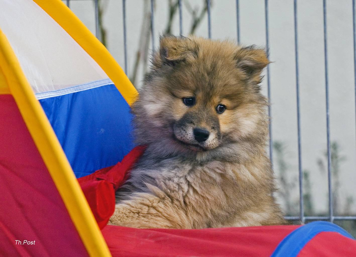 Евразиер: описание породы собак, фото и цены на щенков, выставочные стандарты и дисквалифицирующие пороки