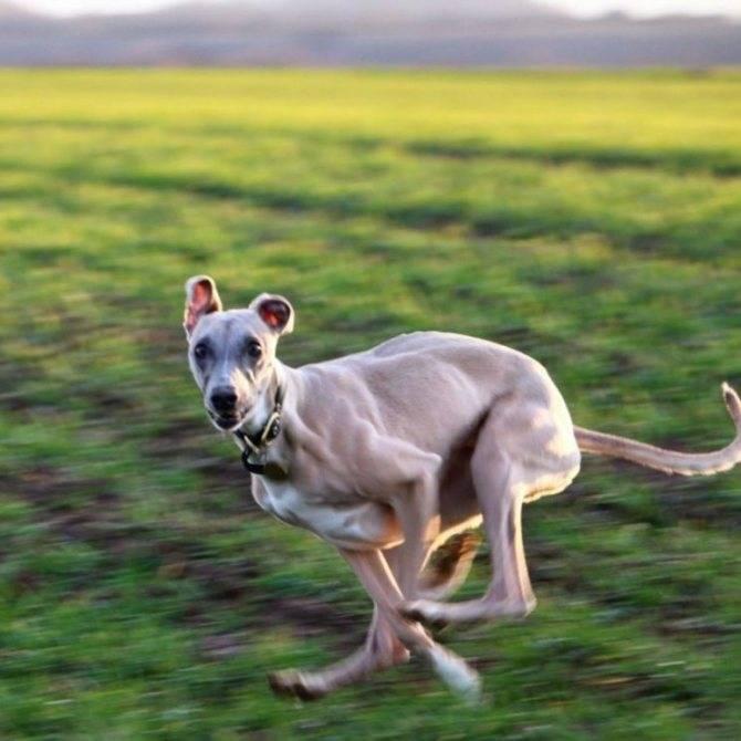 Уиппет — фото, описание породы и характера собаки, отзывы владельцев