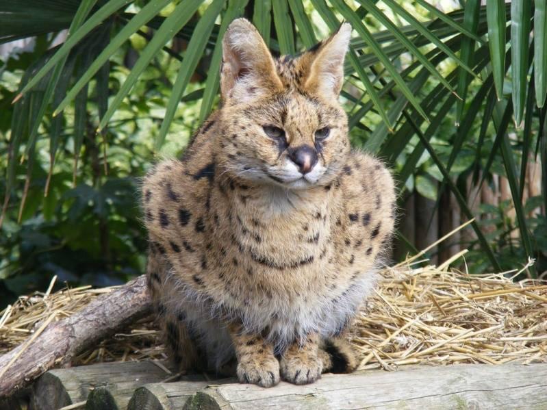 Сервал – кустарниковая кошка, похожая на гепарда