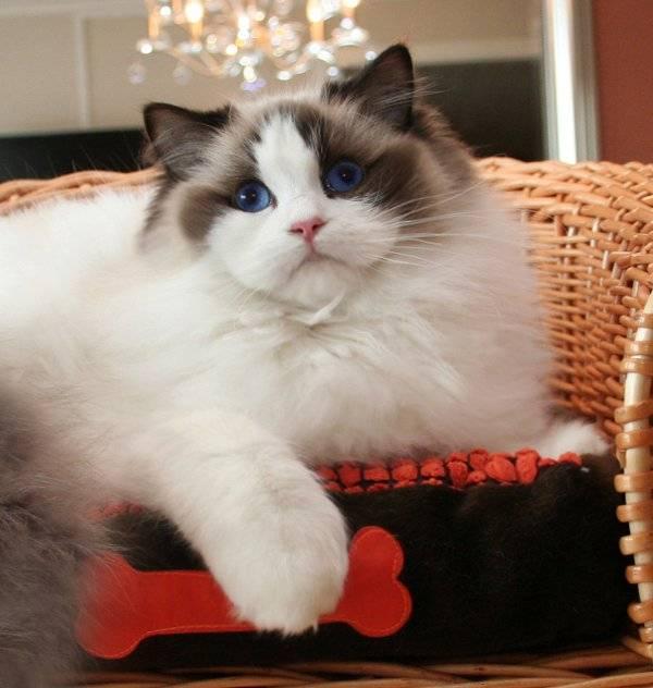 Все, что нужно знать о кошках породы рэгдолл