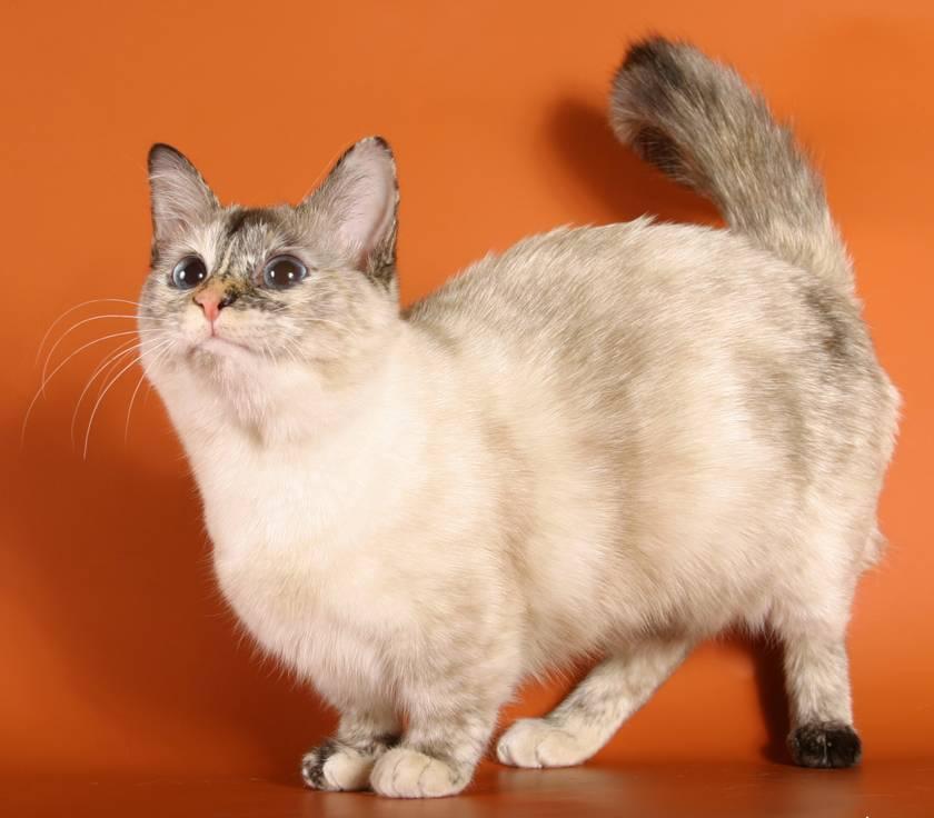 Манчкин: очаровательная кошка-такса