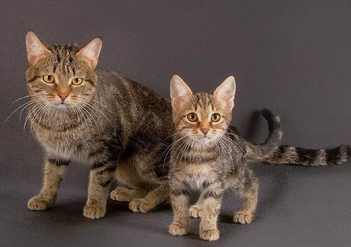 Европейские породы кошек