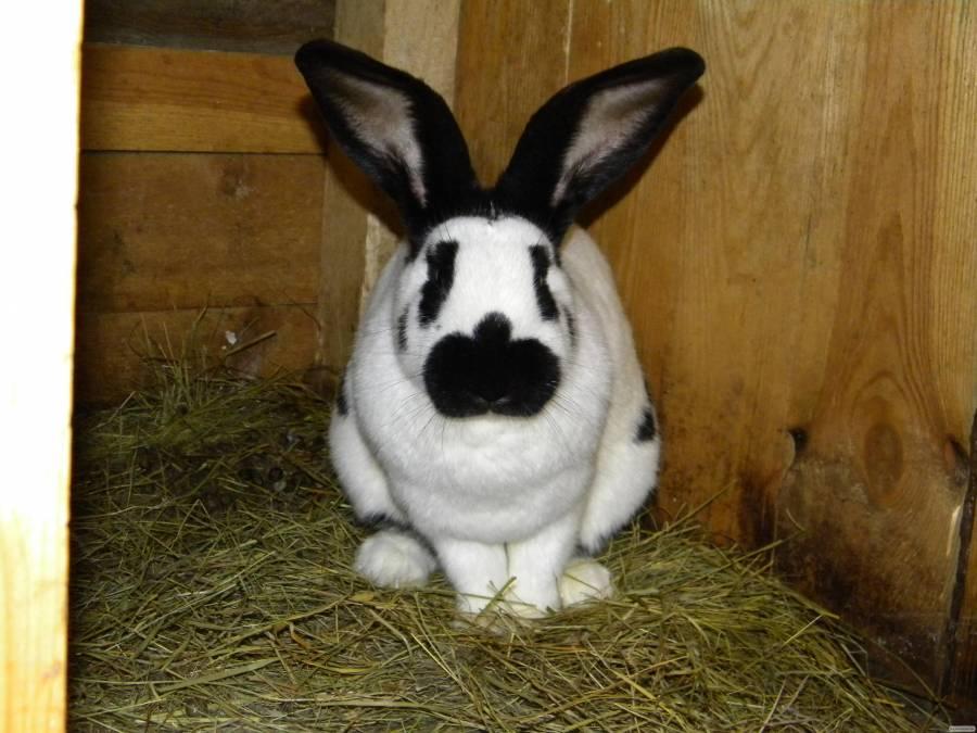Породы кроликов: разновидности, фото, описание