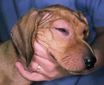 Собаку укусила оса - что делать: какие средства помогут в домашних условиях, чем опасен такой укус?