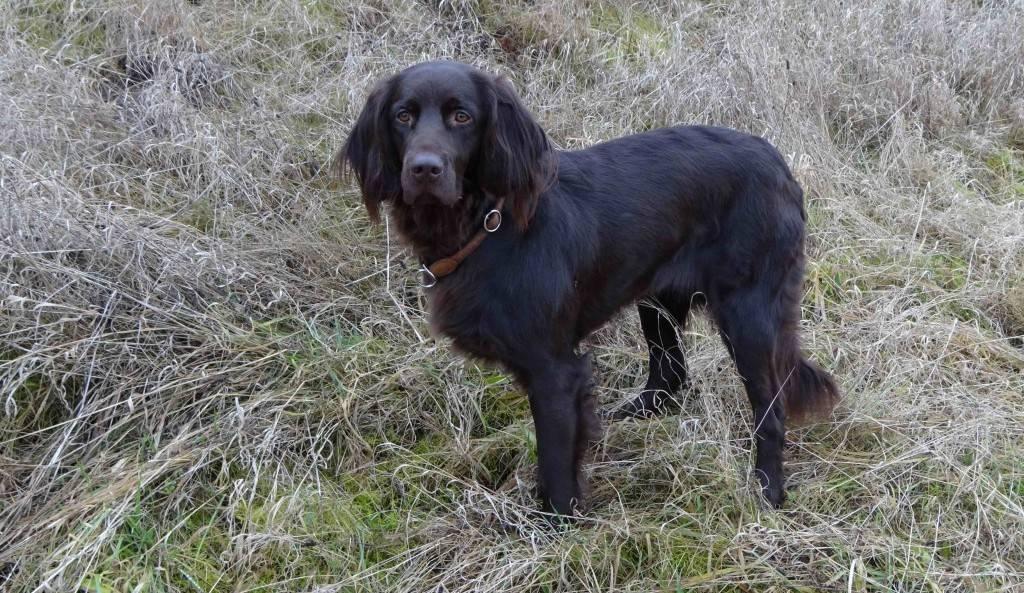 Немецкий ягдтерьер: все о собаке, фото, описание породы, характер, цена