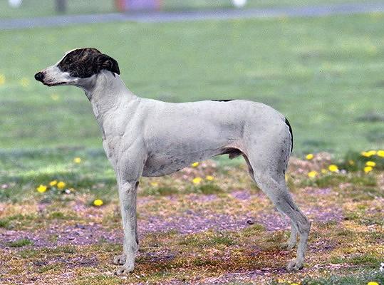 Поденко канарио (канарская борзая): описание породы, фото собаки