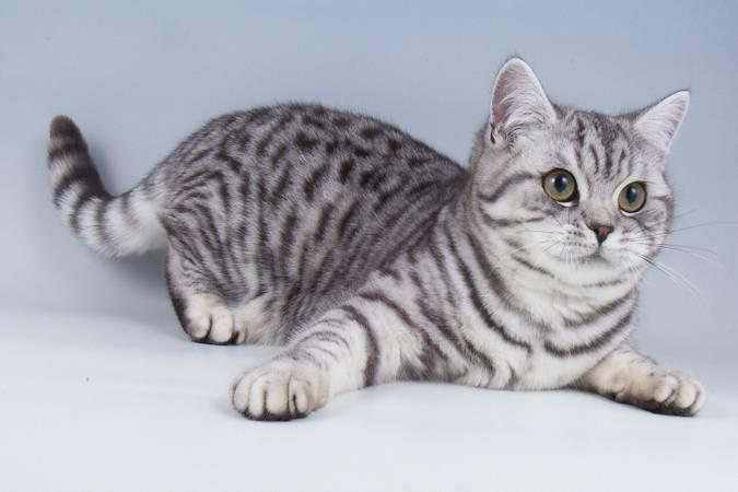 Мраморная кошка: красавица из юго-восточной азии с карими глазами
