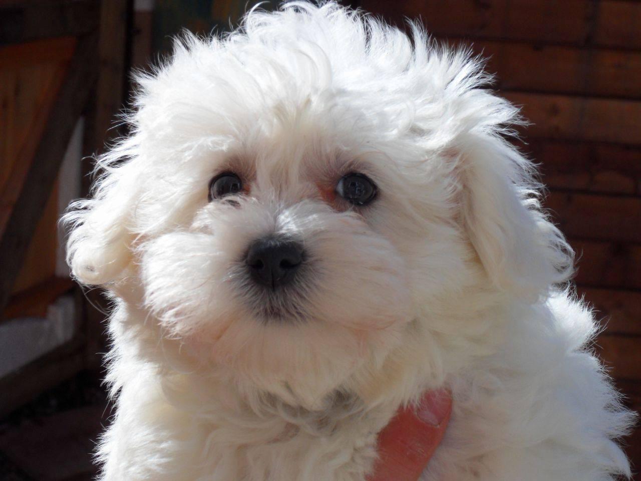 Как содержать болонку — описание породы, правила ухода, фото собак