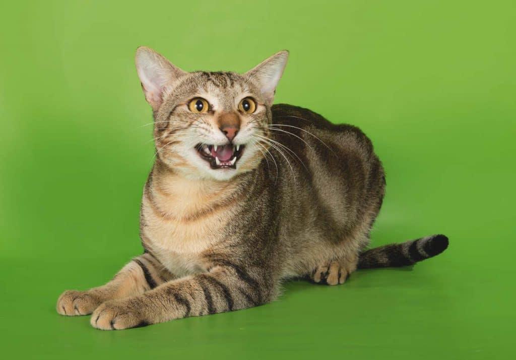 Сококе - фото и описание породы кошек (характер, уход и кормление)
