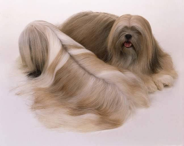 Подробное описание лхасских апсо: внешность и характер породы собак