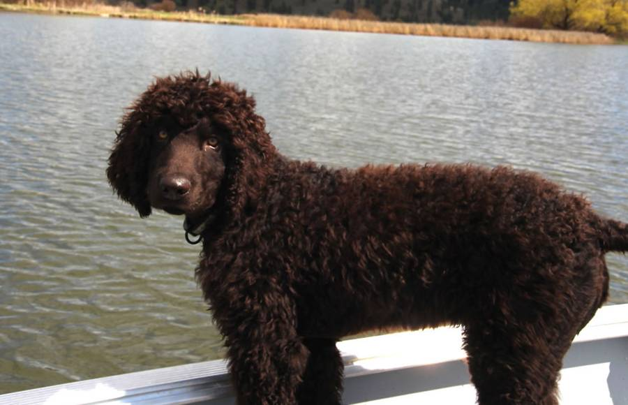 Характеристика собак породы ирландский водяной спаниель