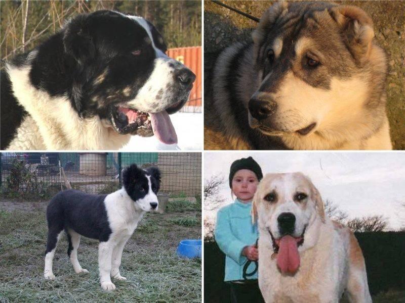 Собака алабай - как выглядит, какие есть разновидности породы, особенности алабаев