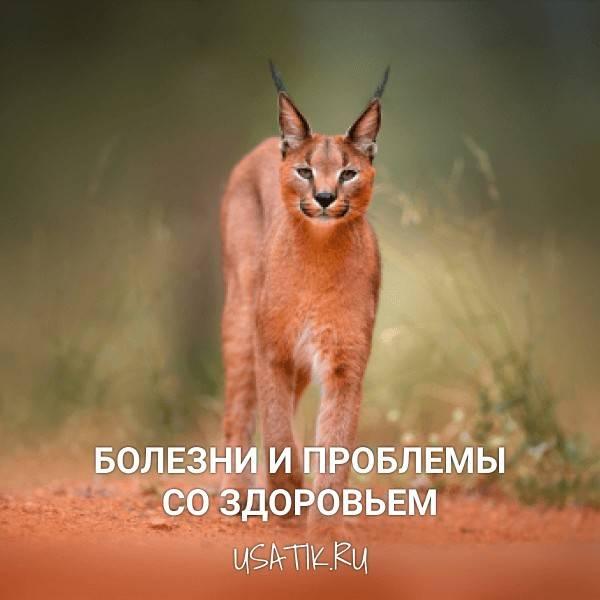Особенности ухода за каракалом (степная рысь) : можно ли держать дома экзотическую кошку?