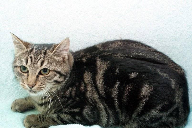 Кельтская кошка: фото, описание, характер, содержание, отзывы
