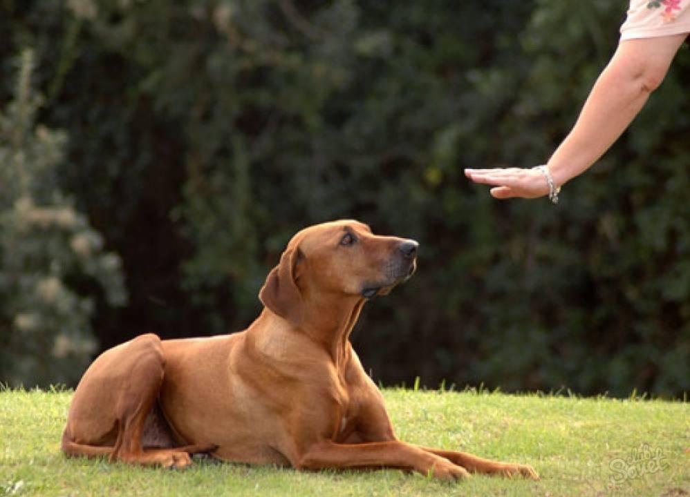 Как научить щенка команде «ко мне»: 12 правил от victoria stilwell