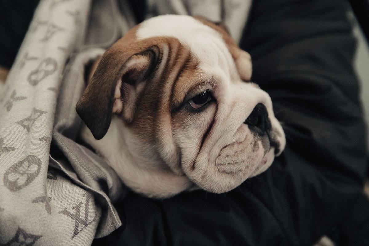 Спокойные породы собак: самые тихие питомцы