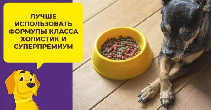 Чем кормить чихуахуа в домашних условиях?